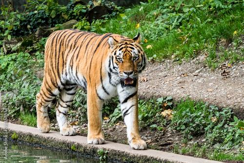 Tiger - Panthera tigris Fototapet