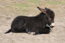 Black Baby Burro Donkey Lying On The Ground. Sunny Day. Russia. Moscow Region