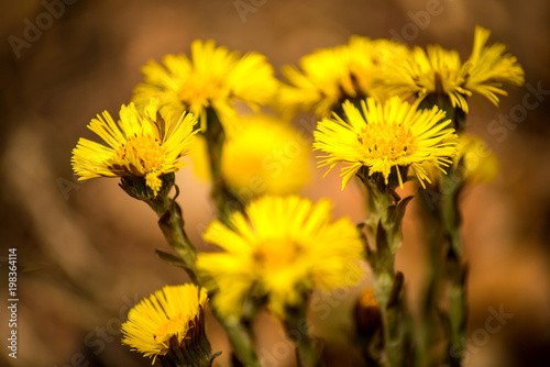 Valokuva  Coltsfoot, medicinal herb, flower in spring in a German forest