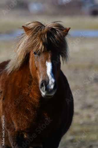 Fototapety, obrazy: Icelandic horse brown mare