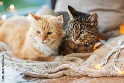 Papiers peints Jardin pets, christmas and hygge concept - two cats lying on window sill with blanket at home