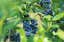 Fresh Blueberrys On The Branch...