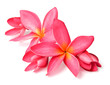 canvas print picture - fresh red frangipani flowers isolated on white