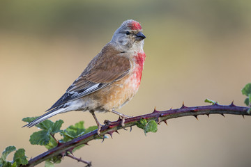 A Linnet, or common Linnet, (Linaria cannabina), male, perched on a branch on light brown background