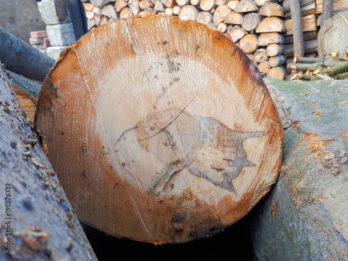 Fototapety, obrazy: close-up texture of beech tree. round tree rings background