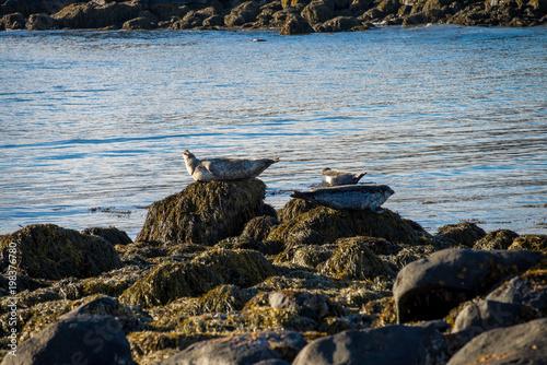 Naklejka premium Foki spoczywające na plaży Ytri Tunga