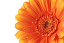 Orange Gerbera Flower On A Whi...