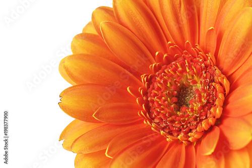 Orange gerbera flower on a white background