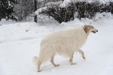 Big Russian Borzoi Dog Standing In A Winter Forest