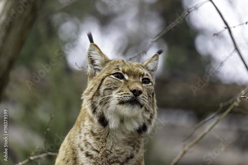 Fotobehang Lynx The Eurasian lynx