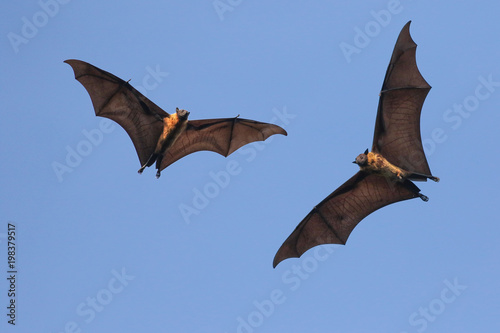 Two Giant Indian flying fox bats on the fly,  Pteropus  giganteus Fototapete