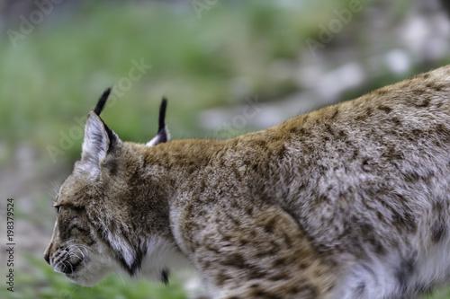 Staande foto Lynx The Eurasian lynx