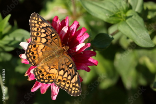 A Fritillary Butterfly feeds on a pink zinnia flower in the garden.