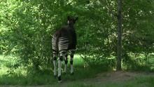 Okapi Eating From Bushes