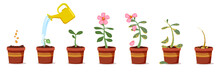 Plant Growing Stages. Green Fl...
