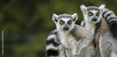 Nahaufnahme von zwei Lemuren