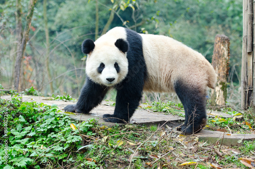 Poster Panda A single Giant Panda Look Back Pose, Chengdu, Szechuan, China. Face has slight motion blur.