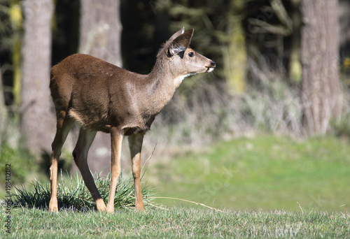 Fotografie, Obraz  Profile of a Blacktail Deer