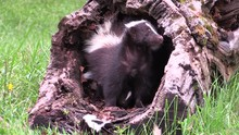 Mother Skunk Protects Her Babies