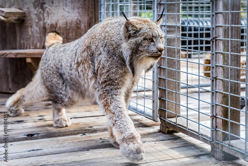 Wild Canadian lynx in a cage at a sanctuary Poster