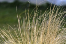 Abstract Dried Yellow Grasses Against Blurry Background.