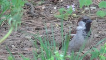 Sparrow On Meadow In Green Grass, Close Up Of Hungry Birds Feeding In Nature
