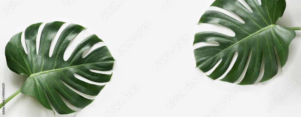 Fototapety, obrazy: Monstera leaves plant on white background. Isolated with copy space. Banner.