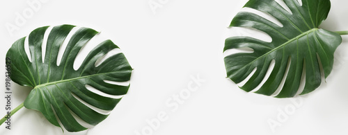 Monstera leaves plant on white background. Isolated with copy space. Banner.
