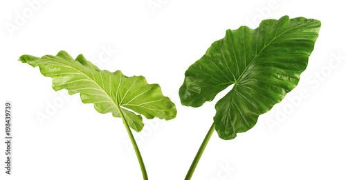 Fotografia  Alocasia odora foliage (Night-scented lily or Giant upright elephant ear), Exoti