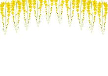 Yellow Cassia Fistula - Golden Shower Flower On White Background