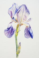 Iris Flower Watercolor