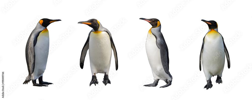 King penguins isolated on white background