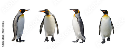Cuadros en Lienzo King penguins isolated on white background