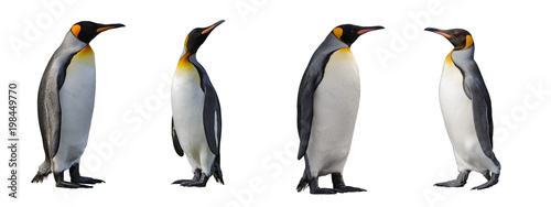 Pingouin King penguins isolated on white background