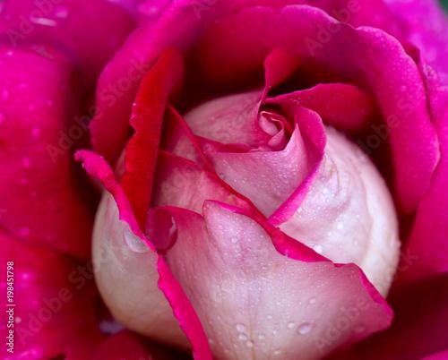 rozowa-roza-zblizenie-z-kropli-wody