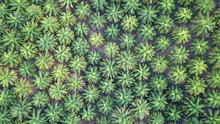 Oil Palm Plantation. Palm Trees From Above