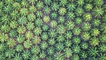 Oil Palm Plantation. Palm Tree...