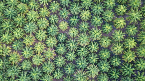 Cadres-photo bureau Olive Oil palm plantation. Palm trees from above
