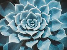 Abstract Close-up Of The Colorful Natural Rosette Pattern Of A Succulent Plant, The Echeveria Capri, Echeveria Lilacina.