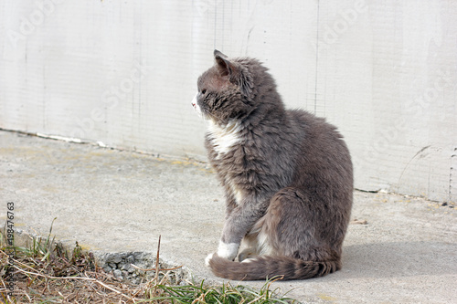 Fototapety, obrazy: Cat on the street. Gray cat in the spring