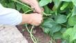 footage closeup yardlong bean harvest with hand of gardener