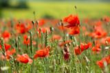 Fototapeta Kwiaty - wonderful poppy field in late may