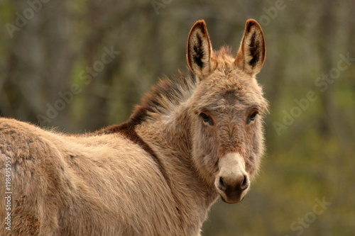 A light brown, miniature donkey with its ears perked up.