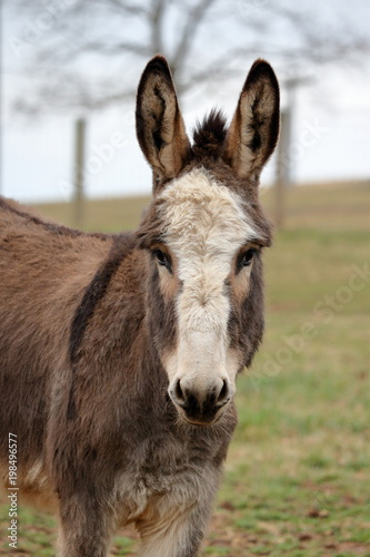 Foto op Canvas Ezel A miniature donkey with a white face and perked up ears.