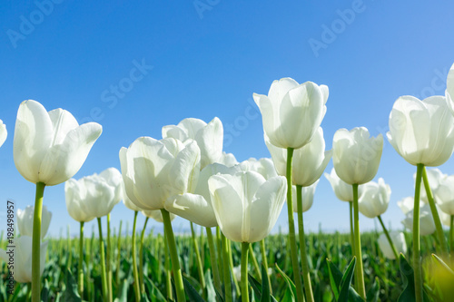 Papiers peints Narcisse White Tulips on Background Blue Sky.