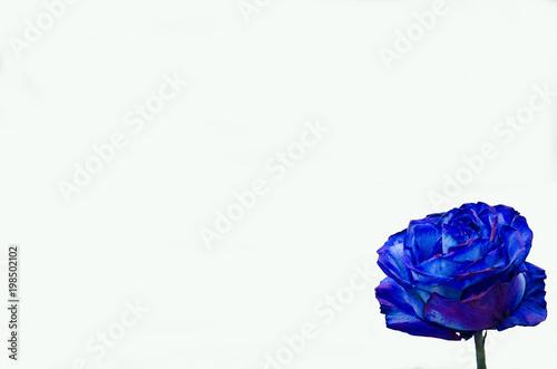 Uno Sfondo Con Una Rosa Blu Buy This Stock Photo And Explore