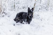 Beautiful Black German Shepher...