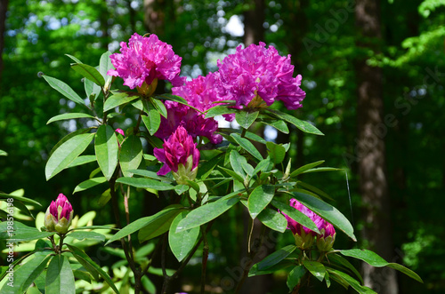 Foto op Plexiglas Azalea Кустовая азалия с малиново-фиолетовыми цветами.