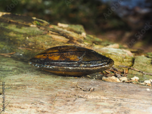 Closeup of a fresh water swan mussel on a wooden log