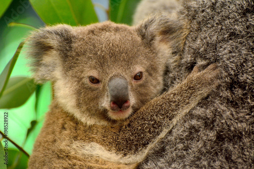 Portrait of baby koala